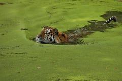 Tigre sibérien dans l'herbe directement au photographe images libres de droits