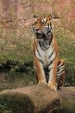 Tigre sibérien de baîllement images stock