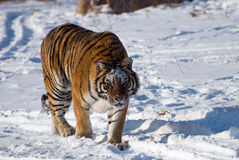 tigre sibérien de vagabondage Images stock