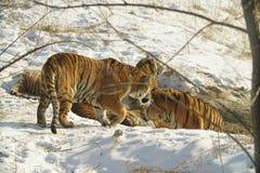 Tigre sibérien en hiver Photographie stock