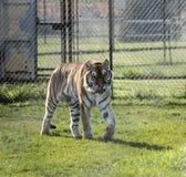 Tigre sibérien marchant dans le zoo canadien Photographie stock libre de droits