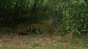 Tigre sibérien ou indien, altaica du Tigre de Panthera, vue directe d'angle somnolent de relaxinglow banque de vidéos