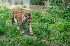Tigre sibérien puissant dans un zoo photographie stock libre de droits