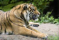 Tigre Siberian Foto de Stock