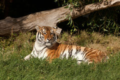 Tigre Siberian Imagens de Stock Royalty Free