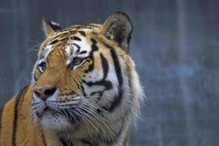 Tigre Siberian fotografia de stock