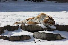 Tigre Siberian Foto de Stock Royalty Free