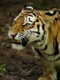 Tigre Siberian (altaica de tigris do Panthera) Fotografia de Stock