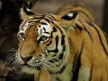 Tigre Siberian (altaica de tigris do Panthera) Fotografia de Stock Royalty Free