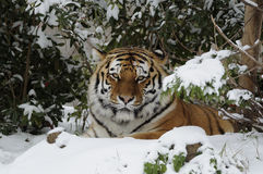 Tigre Siberian (altaica de tigris do Panthera) fotos de stock royalty free
