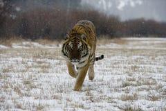 Tigre Siberian, altaica de tigris do Panthera Fotografia de Stock Royalty Free