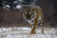 Tigre Siberian, altaica de tigris do Panthera Imagem de Stock