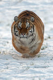 Tigre Siberian (altaica de tigris do Panthera) Imagem de Stock