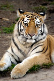 Tigre Siberian (altaica de tigris do Panthera) Imagens de Stock