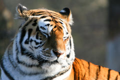 Tigre Siberian cansado Foto de Stock Royalty Free
