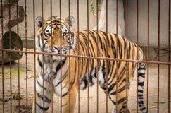 Tigre Siberian enorme Fotos de Stock