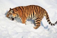 Tigre siberian grande à procura de sua rapina Imagem de Stock Royalty Free