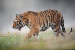 Tigre Siberian na manhã nevoenta do verão Fotografia de Stock