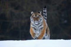 Tigre Siberian na neve Imagens de Stock