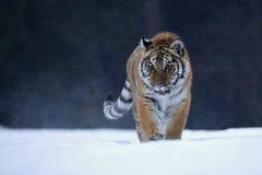 Tigre Siberian na neve Imagem de Stock Royalty Free