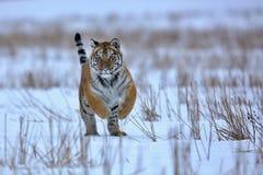 Tigre Siberian na neve Foto de Stock Royalty Free
