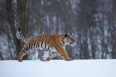 Tigre Siberian na neve Fotos de Stock Royalty Free