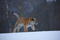 Tigre Siberian na neve Imagens de Stock Royalty Free