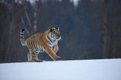 Tigre Siberian na neve Fotos de Stock