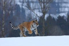 Tigre Siberian na neve Foto de Stock