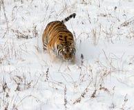 Tigre Siberian na neve Fotografia de Stock Royalty Free