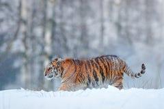 Tigre Siberian na queda da neve Tigre de Amur que corre na neve Tigre na natureza selvagem do inverno Cena dos animais selvagens  Fotos de Stock Royalty Free