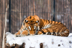Tigre Siberian no jardim zoológico Imagem de Stock Royalty Free