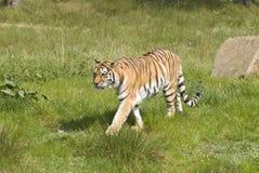 Tigre Siberian (Panthera Tigris Altaica) Imagens de Stock