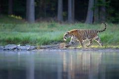 Tigre Siberian que anda perto do lago perto da floresta Fotos de Stock Royalty Free