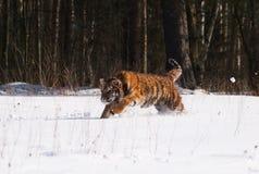 Tigre siberian que corre na neve - altaica de Amur de tigris do Panthera Fotos de Stock Royalty Free