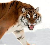 Tigre Siberian que rosna Imagens de Stock Royalty Free