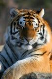 Tigre Siberian que Smirking Fotografia de Stock