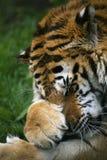 Tigre Siberian Snarling Imagem de Stock