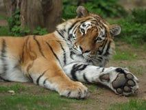 Tigre Siberian, tigre de Amur Foto de Stock