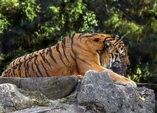 Tigre siberiana 11 Immagine Stock