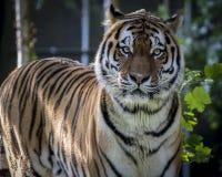 Tigre siberiana Fotografia Stock