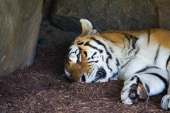 Tigre siberiana immagine stock libera da diritti