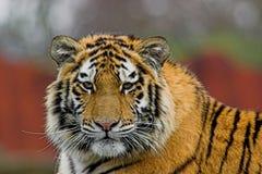 Tigre siberiana Immagini Stock