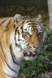 Tigre siberiana Immagini Stock Libere da Diritti