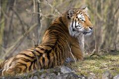 Tigre siberiana Fotografie Stock Libere da Diritti