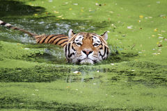 Tigre siberiana in acqua fotografia stock