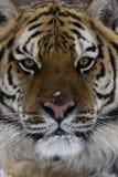 Tigre siberiana, altaica del Tigri della panthera Fotografie Stock Libere da Diritti