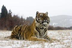 Tigre siberiana, altaica del Tigri della panthera Immagini Stock