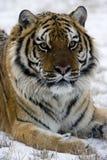 Tigre siberiana, altaica del Tigri della panthera Immagine Stock Libera da Diritti