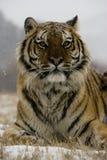 Tigre siberiana, altaica del Tigri della panthera Fotografie Stock